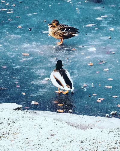 High angle view of mallard ducks in water