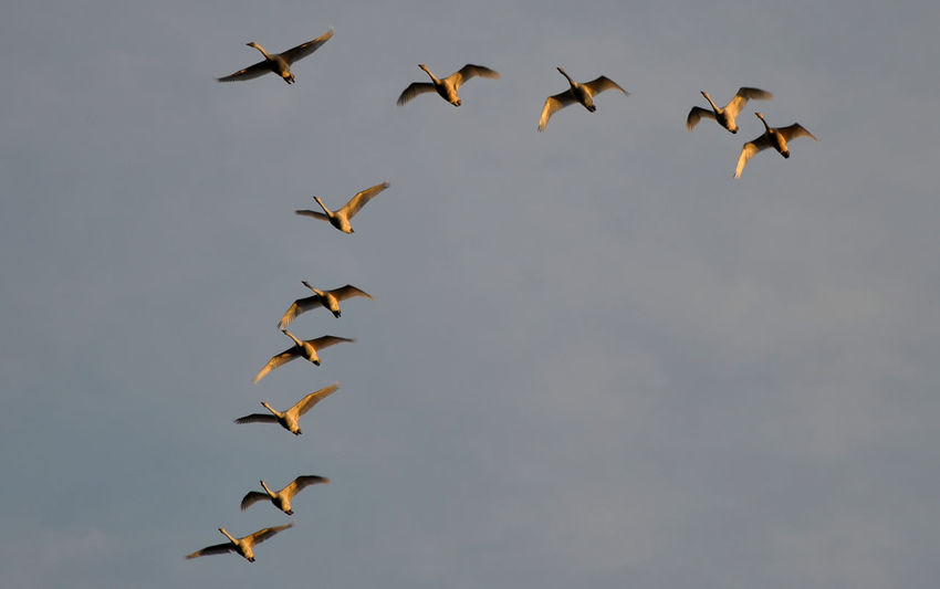 Morning formation Animal Themes Animal Wildlife Animals In The Wild Bird Cygnus Olor Day Flock Of Birds Flying Horizontal Large Group Of Animals Low Angle View No People Outdoors Pelican Spread Wings Swans V Formation Warta River Mouth Landscape Park