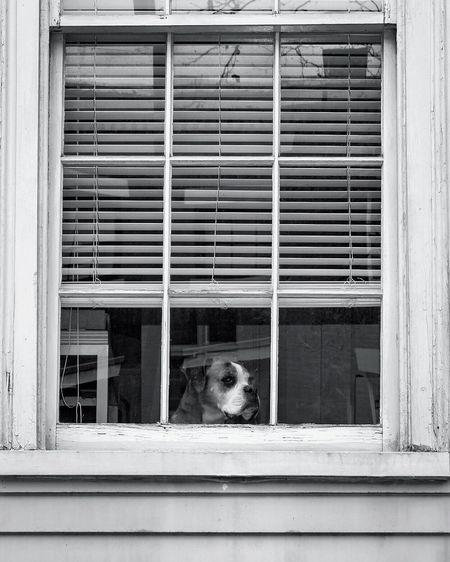 Brooklyn Boxer. Pets Window Dog One Animal Portrait New York Urbanphotography New York City Urban City City Life
