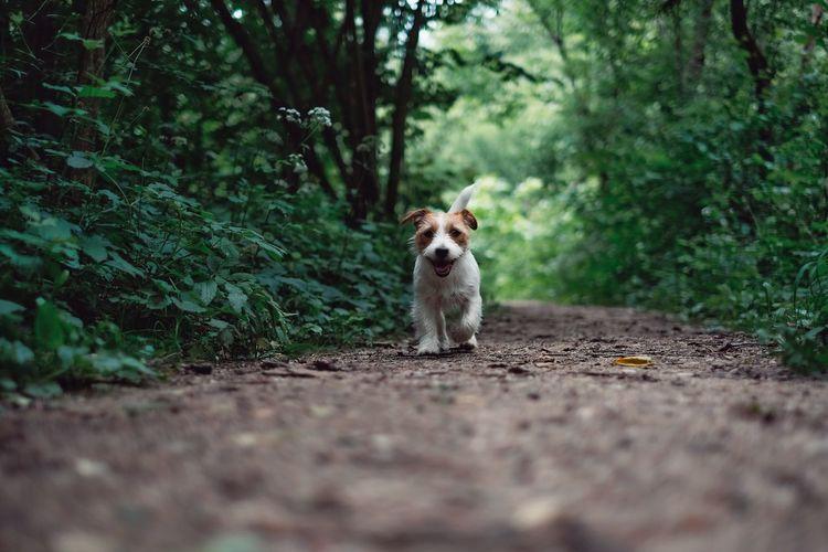 One Animal Pets Dog Domestic Animals Animal Themes Mammal Tree Outdoors Road Nature Jackrussell Jackrussellterrier Jack Russell Terrier Looking At Camera Running Dog Fresh On Market 2017