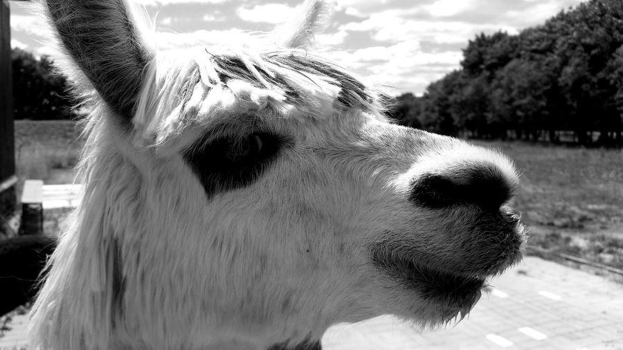 Lama Black & White Nature Animal Natur Pets Dog Portrait Close-up Sky Animal Nose Animal Mouth Animal Face