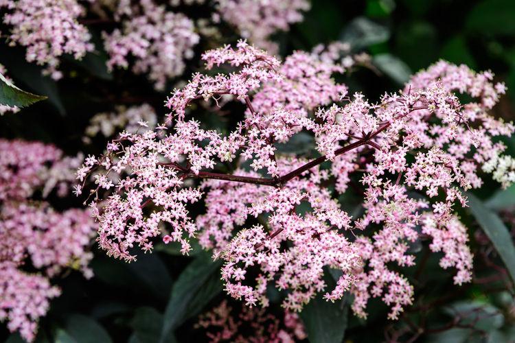 Pink flowers and purple leaves of sambucus black beauty tree, elder or elderberry in a garden