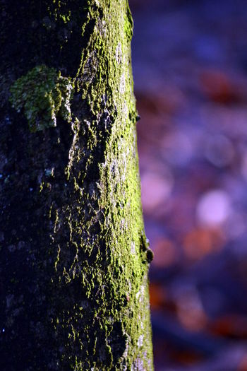 Plant Focus On Foreground Tree Trunk Close-up Trunk Textured  Moss No People Day Growth Tree Nature Rough Green Color Outdoors Selective Focus Plant Bark Bark Wood - Material Lichen