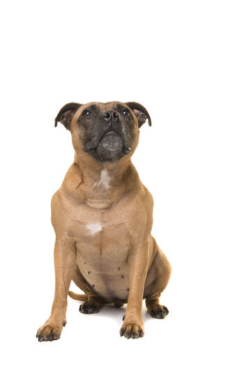 Portrait of a dog sitting against white background