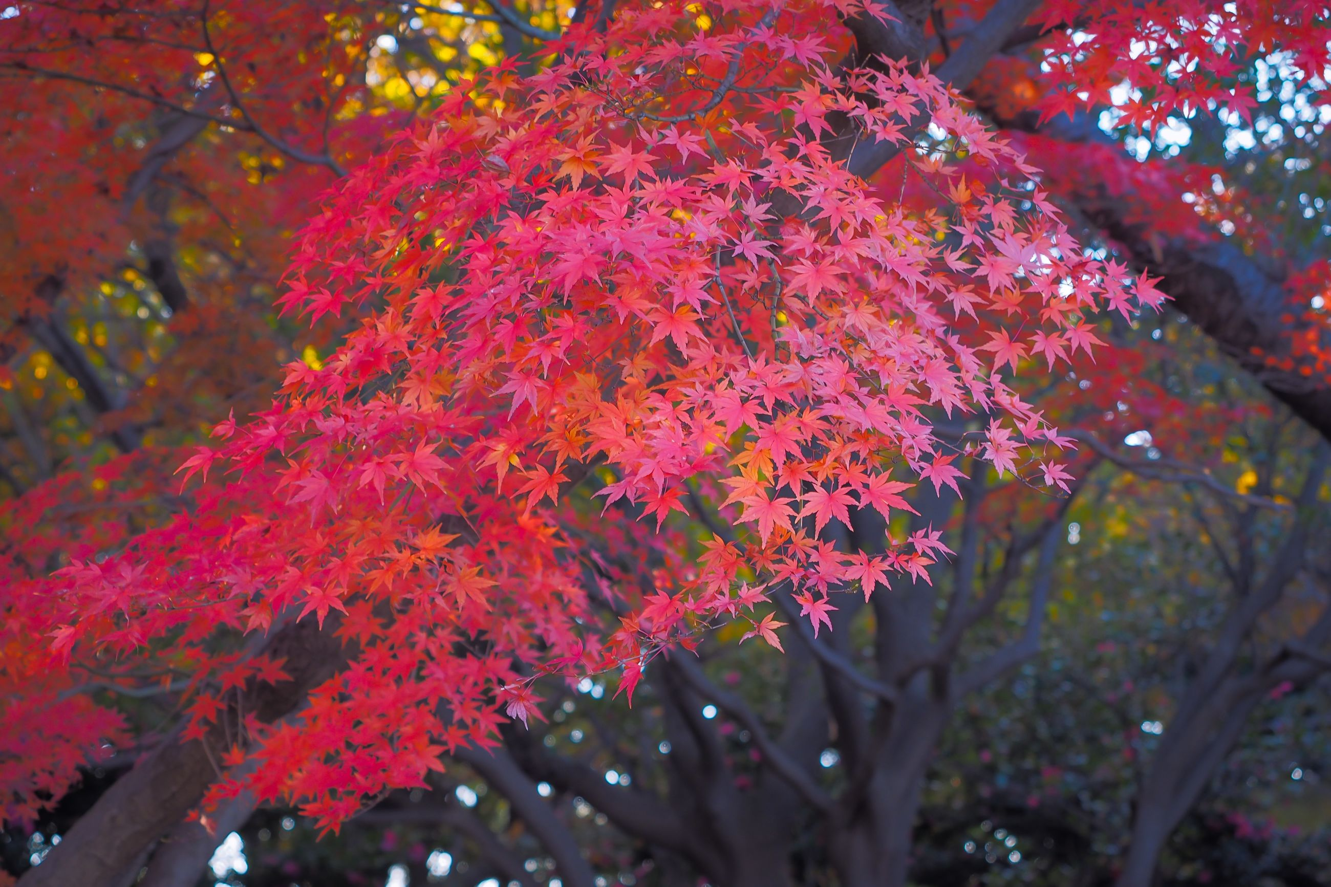 tree, branch, growth, autumn, change, beauty in nature, season, nature, leaf, low angle view, tranquility, red, day, sunlight, outdoors, park - man made space, no people, flower, scenics, close-up