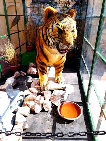 bengal tiger Wax Museum Effigy One Animal Animal Themes Sitting High Angle View