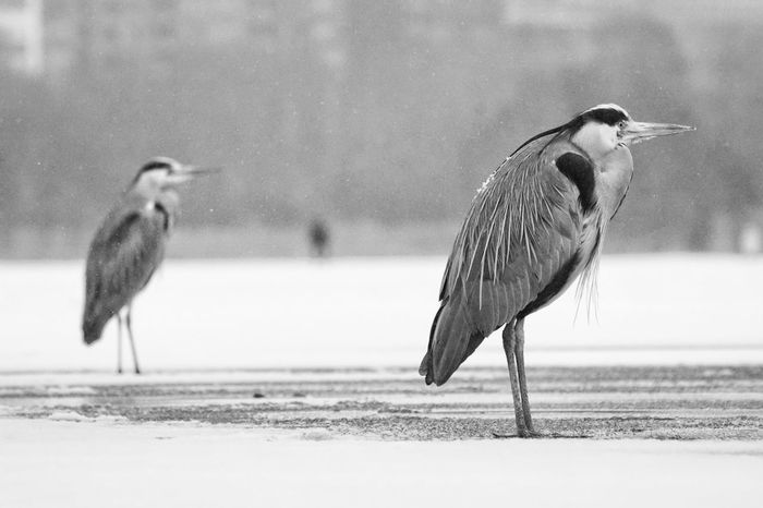 Grey Heron  Heron Showcase February 2018 Niklas Februari 2018 Bird Animals In The Wild Animal Wildlife Animal Themes Nature Beach Sand Day Outdoors No People Full Length Water