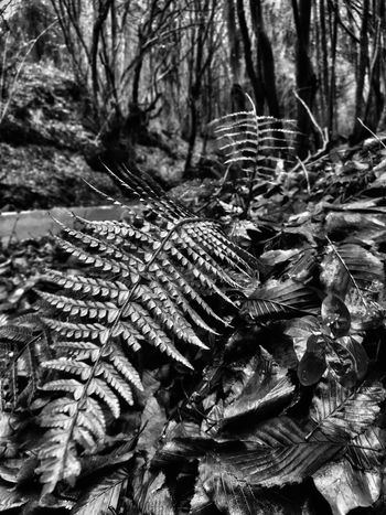 Nature Forest Growth Tree Cactus Plant Spiked Outdoors Pine Cone No People Leaf Close-up Day Needle - Plant Part Beauty In Nature Monochromatic Monochrome Autumn🍁🍁🍁 Istanbulove Istanbul Turkiye Dramatic Photo BEYKOZAYRICALIKTIR. 😌😌😌 Beykoz, Turkey, Turkish, Istanbul, Asia, Asian, Middle East, Black Sea, River, Riva, Riva River, Water, Winter, Season