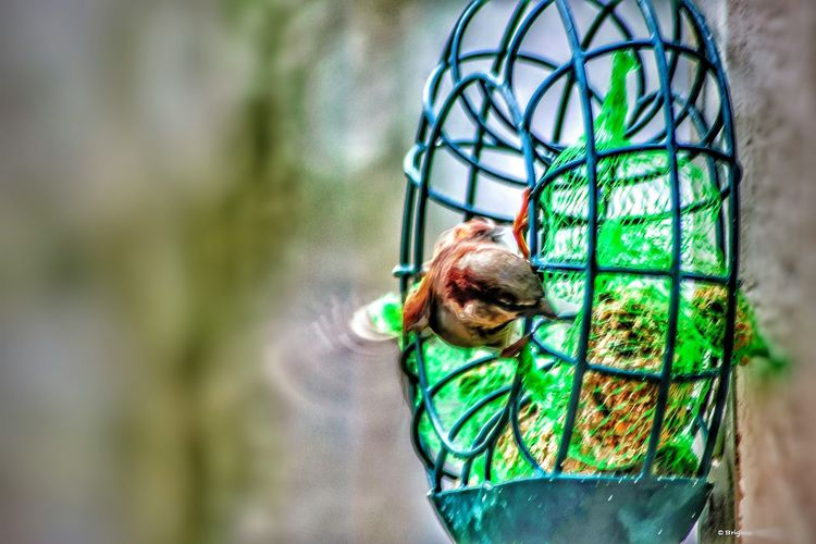 Sparrow Bird Animal Themes One Animal Animals In The Wild Green Color Animal Wildlife No People Nature Close-up Day Outdoors My Year My View EyeEm Nature Lover Through The Window Nature At My Doorstep Birds_collection Nature Animals In The Wild Eat My Garden Nature Beauty I Love Nature