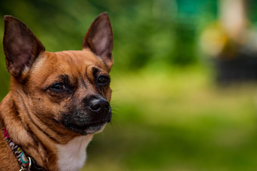 Animal Themes Close-up Day Dog Domestic Animals Focus On Foreground German Shepherd Grass Mammal No People One Animal Outdoors Pets Portrait