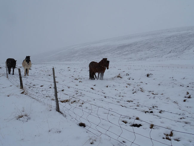 Innsbruck Islandpferd  Pony Animal Animal Themes Beauty In Nature Claudia Ioan Cold Temperature Covering Domestic Domestic Animals Field Group Of Animals Herbivorous Horse Iceland_collection Land Landscape Mammal Mountain No People Pets Scenics - Nature Sky Snow Snowcapped Mountain Vertebrate White Color Winter