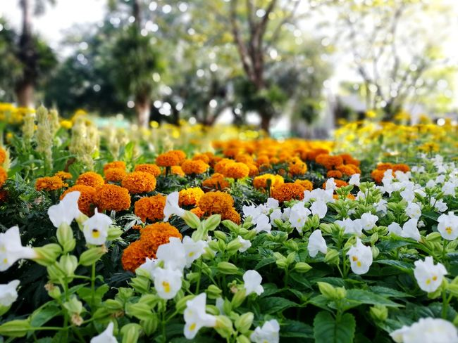 Flower Nature Plant Beauty In Nature Growth Freshness Fragility Outdoors Flower Head Day No People Flowerbed Multi Colored Close-up Botanical Garden