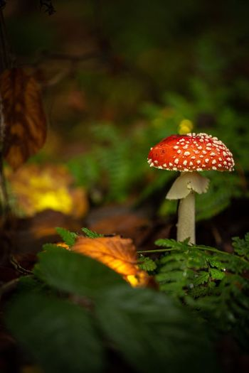 mushrooms Red