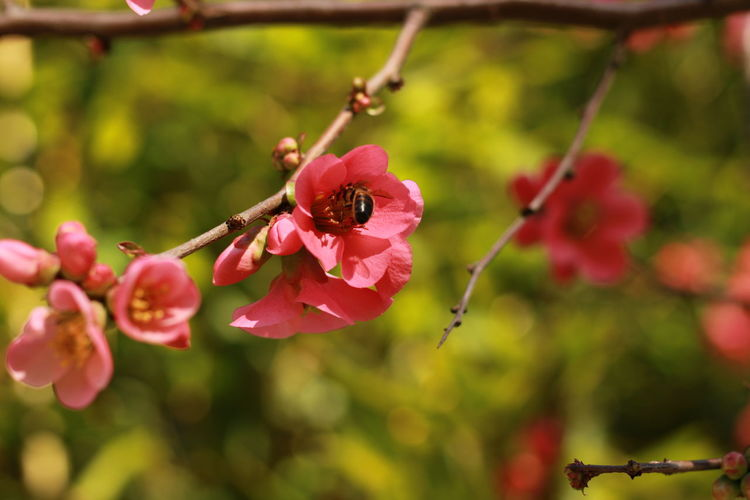 Tree Fruit Red Pink Color Vine - Plant Close-up Plant Food And Drink Rose Hip Branch Cherry Tree Cherry Blossom Blossom Flower Tree Woods Fruit Tree Orchard Bare Tree Wild Rose Rotten Blooming Flower Head Bud Prickly Pear Cactus Apple Blossom Plant Life Petal Twig Plum Blossom