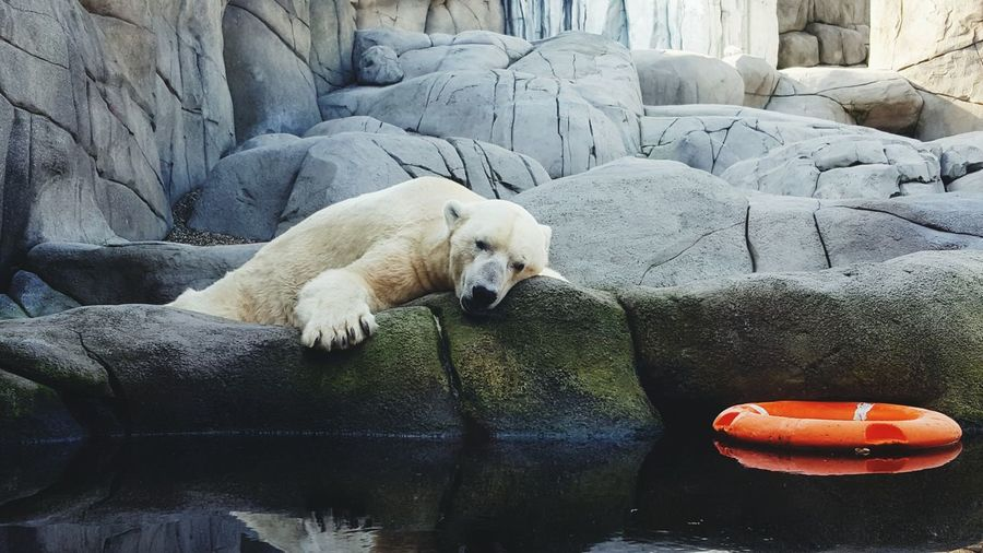 Polar bear relaxing on rock by pond in zoo
