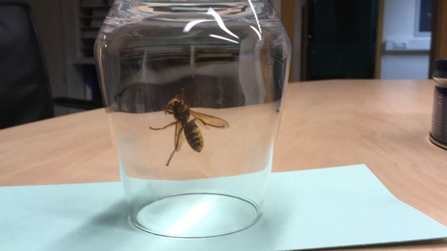 Hornet Hornet