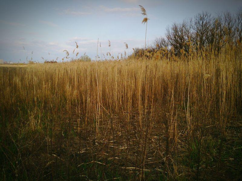 Nature Drygrass