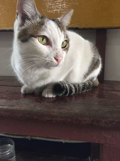 Cat town in Taiwan Domestic Cat Pets Domestic Animals Feline Cat Mammal Animal Themes No People One Animal Indoors  Table Day Close-up