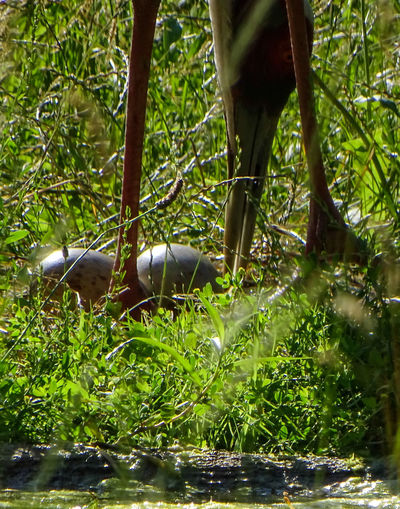 Beauty In Nature Bird Nature Parental Behavier White-naped Crane Zoologic Rarity