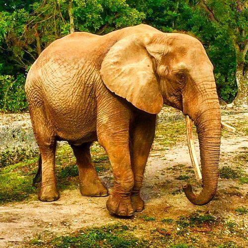 Trunkin... Elephant One Animal Animal Themes Animal Trunk Animals In The Wild Mammal Animal Wildlife Safari Animals African Elephant Outdoors Tusk First Eyeem Photo