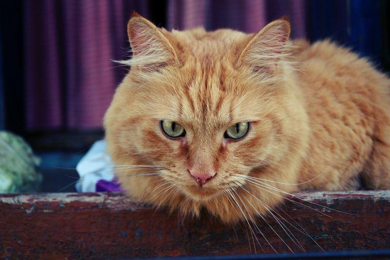 Red-headed cat Hello World Cheese! First Eyeem Photo