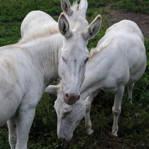 Animal Themes Beauty In Nature Donkey Esel Eselsohren Grass Weiße Esel White Donkey