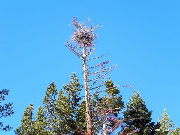 Bird's Nest Nest Tree Clear Sky Blue Forest Pine Tree Pinaceae Sky Go Higher Visual Creativity
