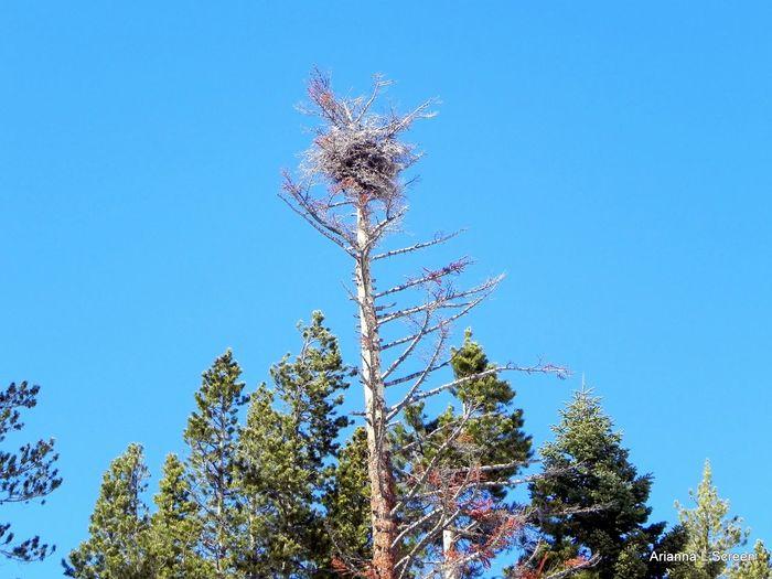 Bird's Nest Nest Tree Clear Sky Blue Forest Pine Tree Pinaceae Sky Go Higher