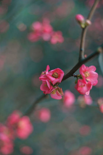 Plant Close-up Beauty In Nature Growth No People Nature Day Outdoors Flower Flowering Plant Pink Color Freshness Vulnerability  Fragility Petal Inflorescence Flower Head Blossom Rosé Focus On Foreground Spring Cherry Blossom