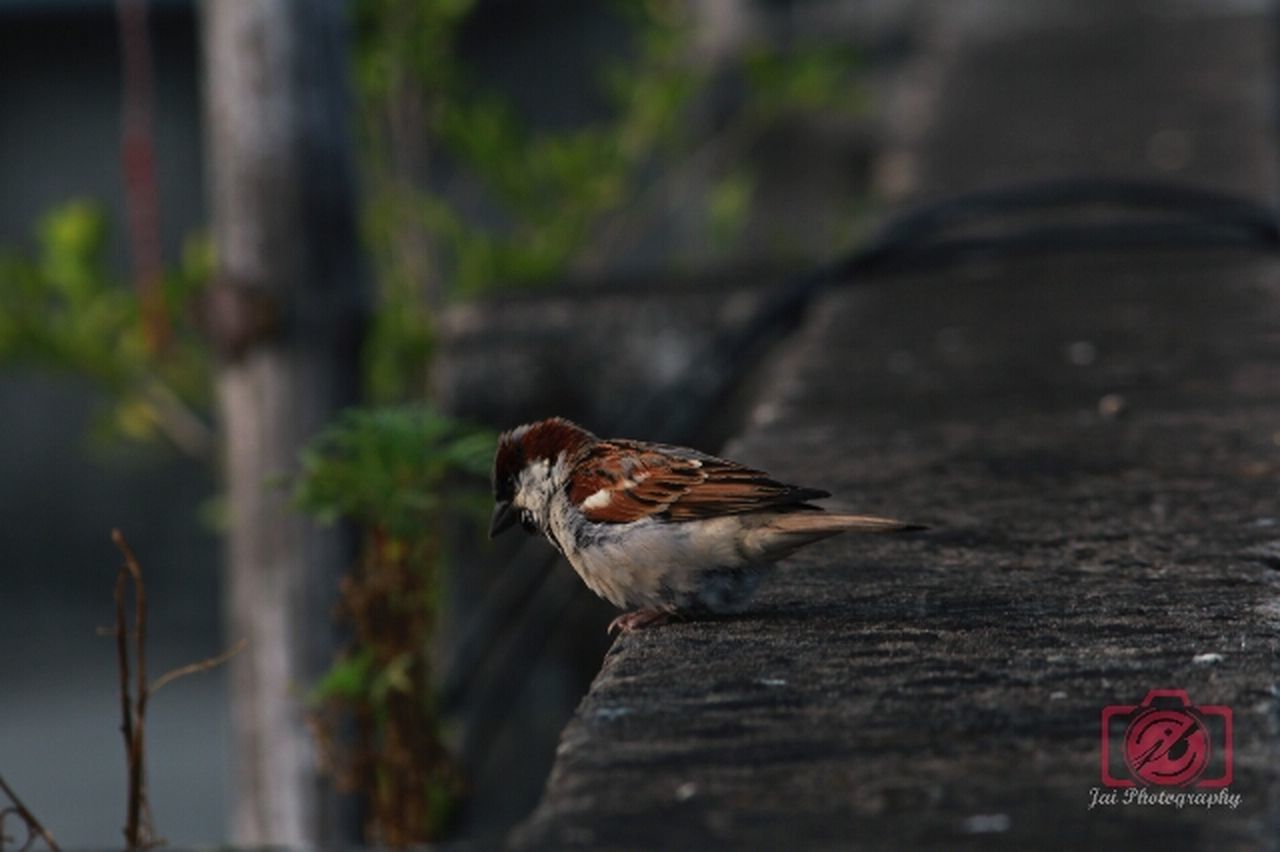 bird, animal themes, animals in the wild, one animal, no people, animal wildlife, perching, day, wood - material, nature, outdoors, sparrow, close-up