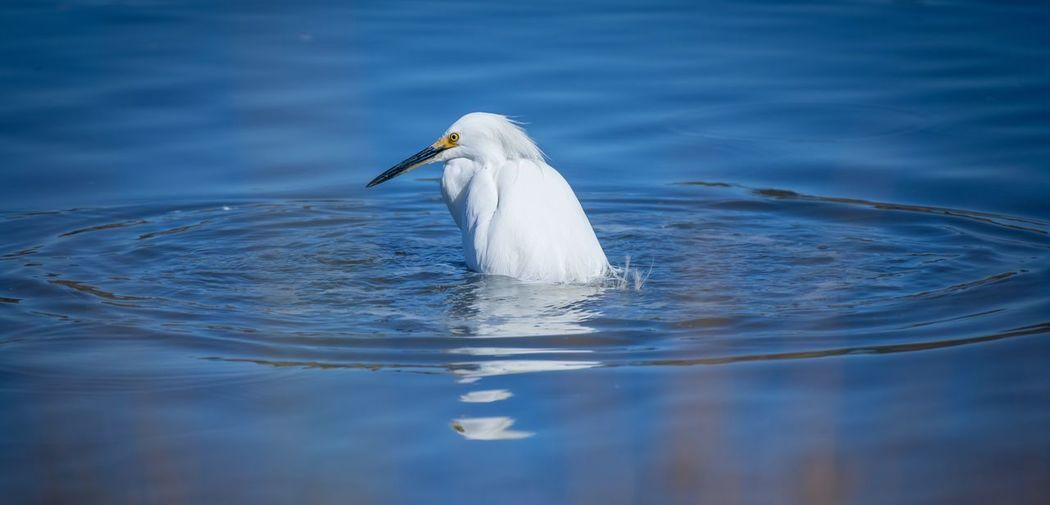 White duck swimming in lake