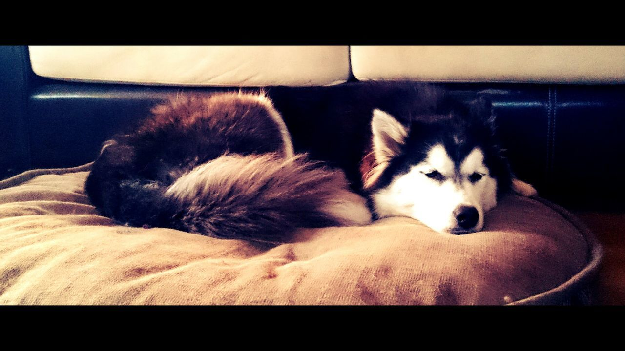 pets, domestic animals, animal themes, dog, one animal, mammal, relaxation, lying down, indoors, sofa, sleeping, no people, looking at camera, bed, sitting, day, portrait, close-up