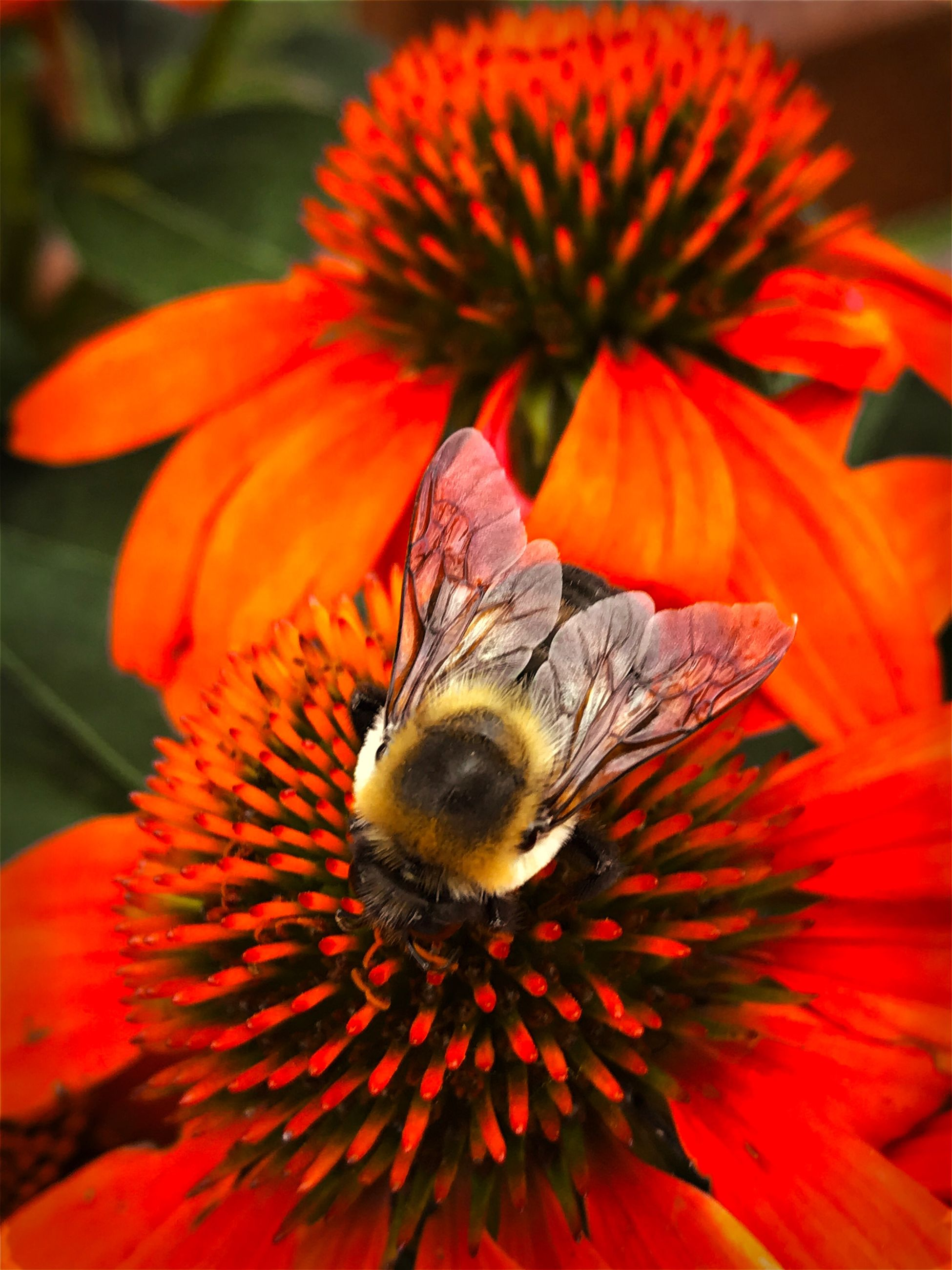 flowering plant, flower, petal, fragility, flower head, beauty in nature, animal themes, one animal, vulnerability, insect, animal wildlife, animals in the wild, invertebrate, freshness, animal, close-up, plant, inflorescence, growth, bee, pollination, pollen, no people, bumblebee