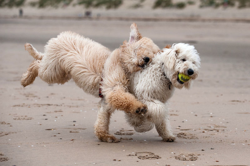 Labradoodles playing with ball at beach