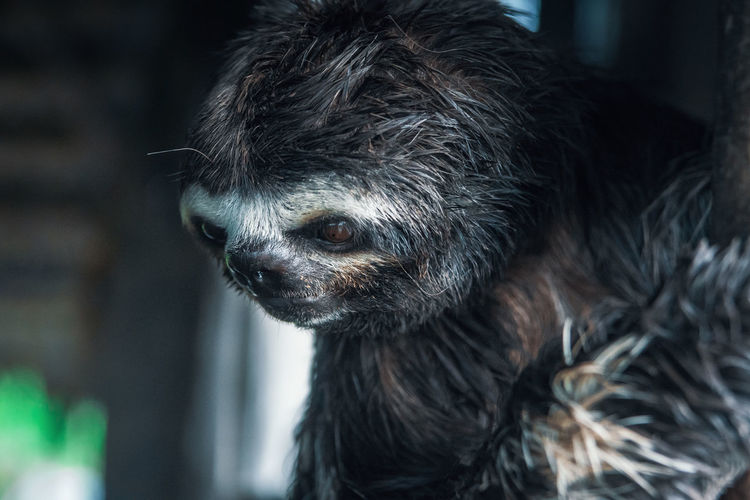 Sloth Non-urban Scene No People Animal Animal Wildlife Animals In The Wild Animal Themes One Animal Day Mammal Close-up Focus On Foreground Animal Body Part Animal Head  Animal Hair Looking Looking Away Hair South America Latin America Fur Wet Eyes Looking Away Hair