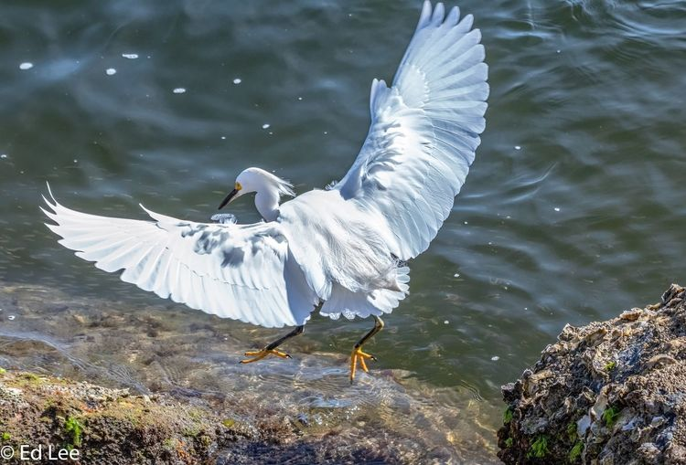 Jumping for minnows Birds Birds Of EyeEm  Wildlife Photography Wildlife & Nature Streamzoofamily Malephotographerofthemonth Florida Egret Animals In The Wild Water Spread Wings Nature Animal Bird High Angle View No People Animal Wildlife Beauty In Nature Lake Flying Outdoors