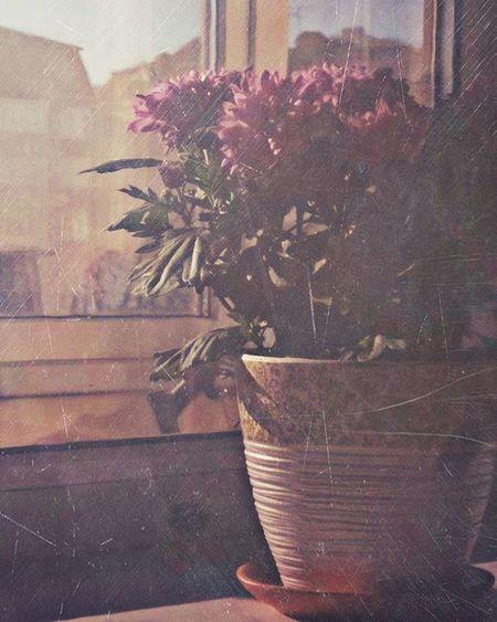 В отражении🎶 Wigandt_photo Wigandt натюрморт отражение StillLife русскаяклассика Россия Russia Анапа кубань город видизокна Mobilephotography арт  Art Flowers цветы хризантемы Camly комнатныерастения заокном классика Shopin Kzoom Kzoomphonetography выходныебезфотоаппарата вотражении жизнь спокойствие созерцание