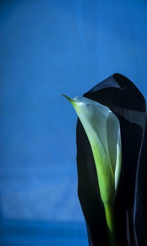 Still life of a Lilly Lilly StillLifePhotography Beauty In Nature Bird Of Paradise - Plant Blue Close-up Day Flower Flower Head Flowers Fragility Freshness Green Color Growth Leaf Nature No People Outdoors Petal Sky Still Life Water
