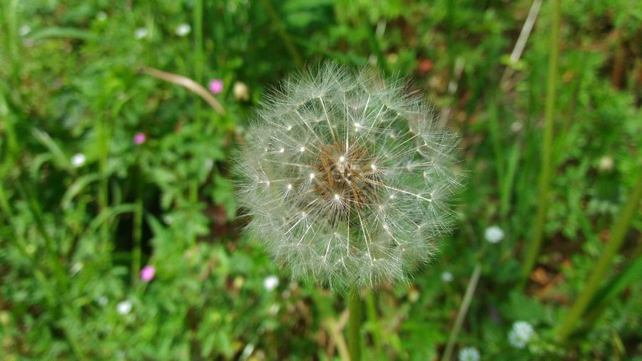 Dandelion on