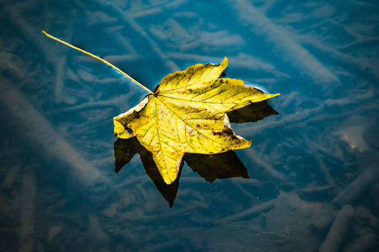 Close-up of yellow maple leaf in water