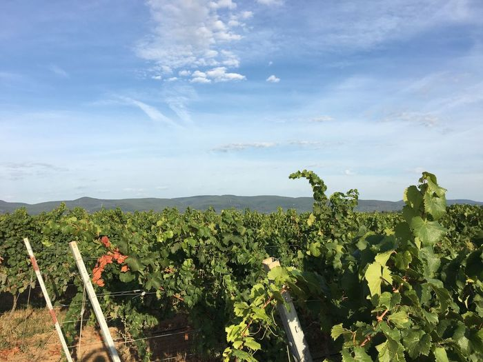 Vineyards Growth Plant Cloud - Sky Sky Beauty In Nature Green Color Agriculture