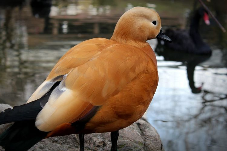 Close-Up Of Ruddy Shelduck On Rock In Lake