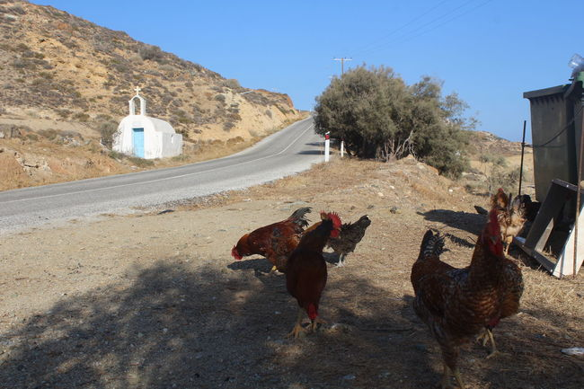 Animals Chickens Domestic Animals Greek Islands Greek Traditions On The Road Simple Moment Traveling