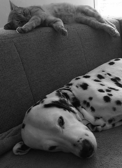 Monochrome Photography Grosse Fatigue One Animal Relaxation Animal Themes Domestic Animals Dog Sleeping Pets High Angle View Lying Down Resting Mammal Animal Head  Loyalty At Home Focus On Foreground