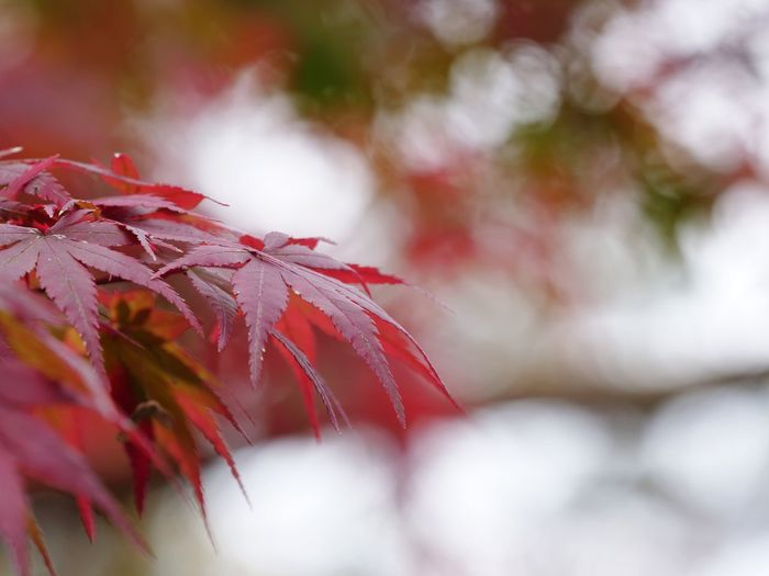 Defocused Multi Colored Beauty Leaf Autumn Red Branch Pastel Colored Redhead Summer