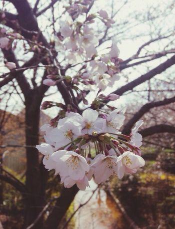 この次の日に満開。その次の日には葉桜になってるのもあった…(((;゚Д゚))) Sakura Flowers