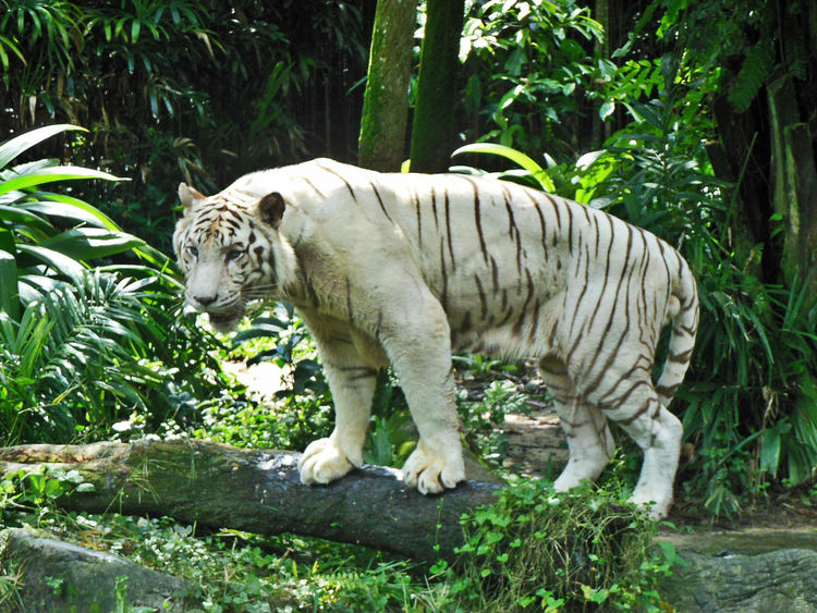 Animal Themes Animals In The Wild Close-up Animal Mammal One Animal Singapore Zoological Garden Tiger White Tiger Wild Life