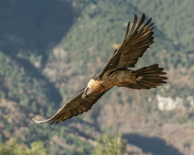 Lammergeier Gypaetus Barbatus Gypaetus Quebrantahuesos Flying Spread Wings Bird One Animal Animals In The Wild Animal Themes Animal Wildlife Vertebrate Animal Bird Of Prey Mid-air Nature Motion Focus On Foreground No People Day Beauty In Nature Eagle - Bird Eagle Mountain Outdoors