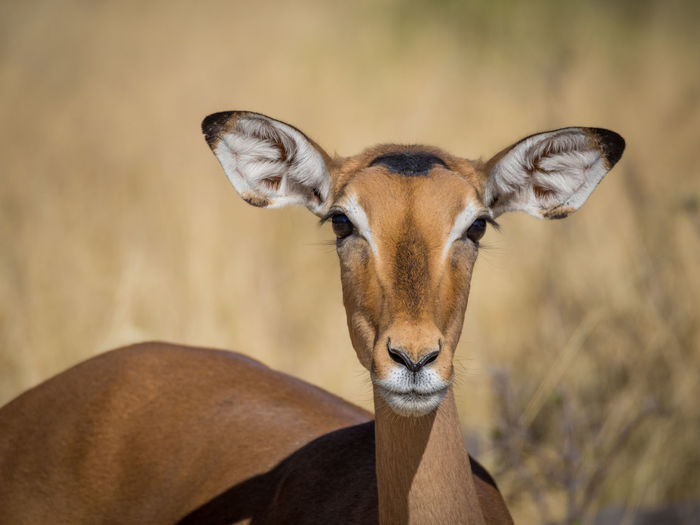 Close-up portrait black faced impala in moremi national park, botswana, africa