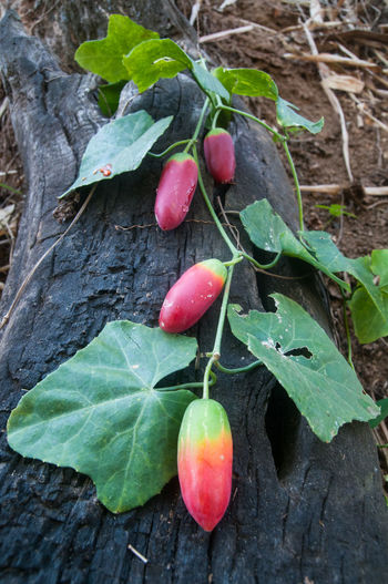 Plant Part Leaf Freshness Food Food And Drink Close-up Plant Healthy Eating Nature Wellbeing Fruit Green Color Red Growth No People High Angle View Day Outdoors Vegetable Tree Ripe Gourd Gourds Gourds & Pumpkins Gourdon